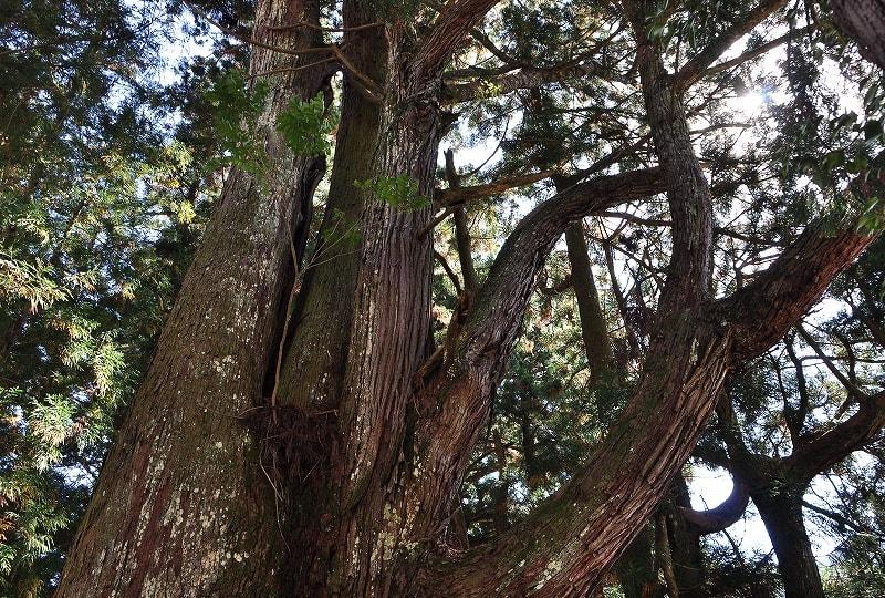 川合天水分神社の大杉枝
