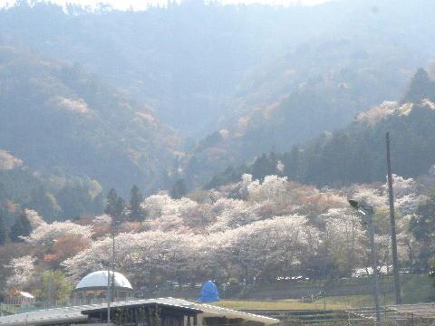 揖斐の山桜