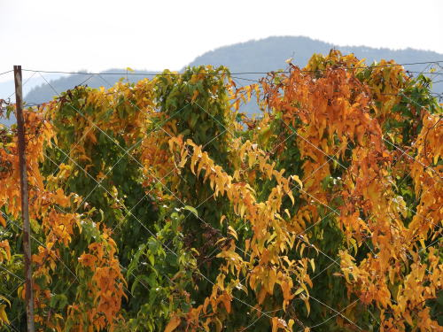 長芋の黄葉