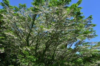 エゴノキの満開花姿