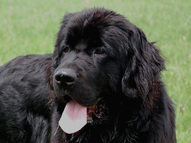 元々のニューファンドランドは、こんなに大きくはなく、ヨーロッパから... コモ湖で海難救助犬が訓