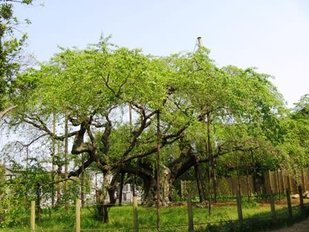 """幹と云い、枝と云い、この角度からの""""ひねり具合""""が、とても良いのです。... 龍ヶ崎""""般若院の葉"""