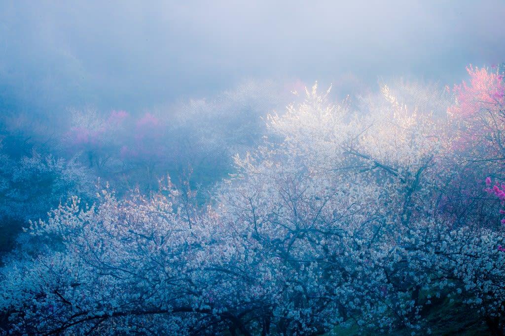 朝霧の梅林/木下沢梅林の写真