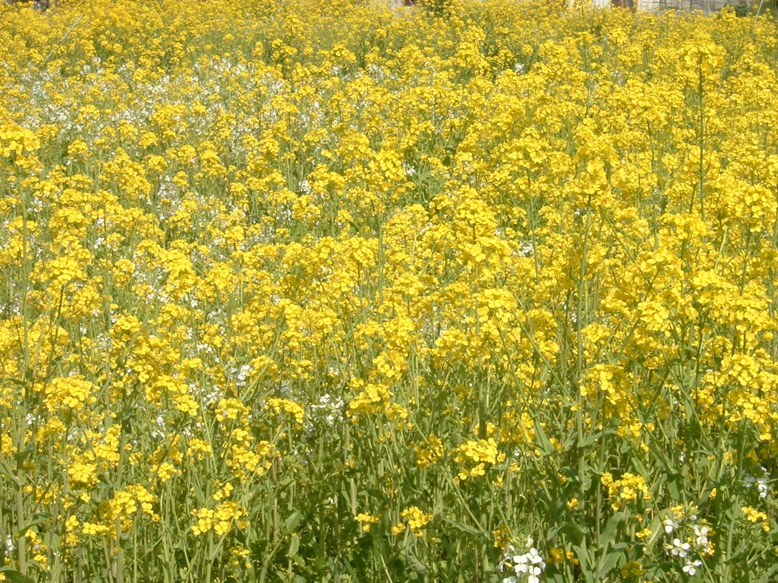 タネツケバナ&ナズナ/白い野の花 - みどりの一期一会 ブログ ログイン ランダム G7外相会合