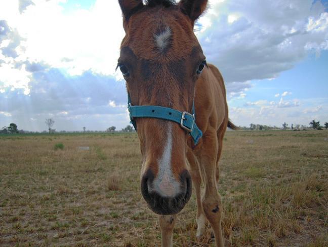カメラが気になるかわいい仔馬の写真
