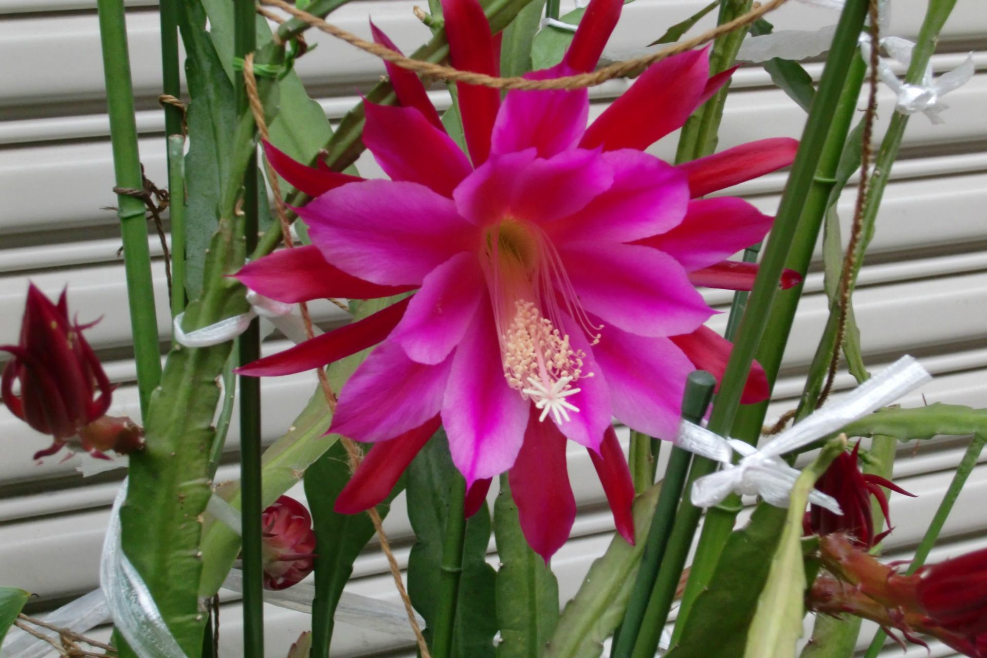 何とも言えぬ香しい芳香を放つ月下美人の花に比べ、クジャクサボテンは花からの芳香は全くと言って良いほどありませんが、3~4日間も花 が楽しむことができるようです。