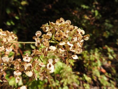 高ボッチ高原・鉢伏山で最近見る事の出来る実・種 オトコエシ(男郎花)