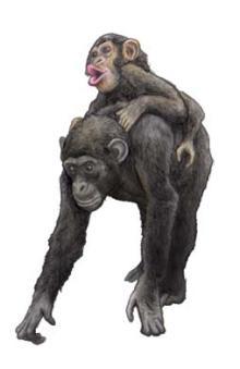 チンパンジーの画像 p1_36