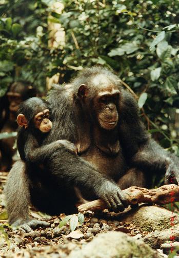 道具を使って木の実を割るチンパンジー