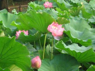 「蓮の花3」