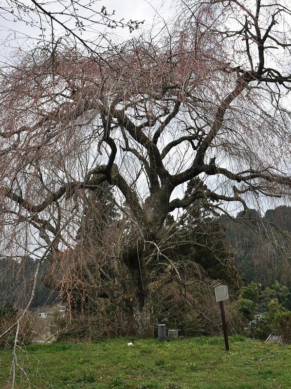 大照寺跡の枝垂桜