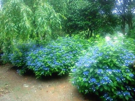甘茶の木ですから、花まつりでお出しする甘茶の茶葉としてはもちろん、 こ... 甘茶の木がきれいに