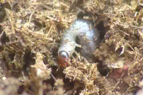 アマミノクロウサギの画像 p1_19