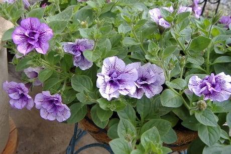 そのほかにも、トレニアもまだまだ元気に・・・。 ポーチュラカもまだ咲い... ブリエッタなどペチ