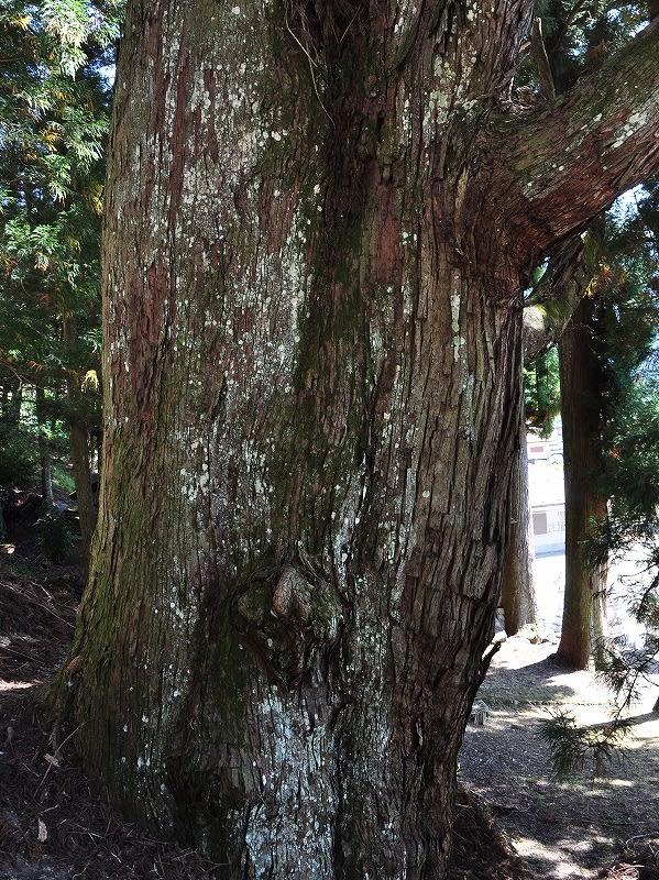 川合天水分神社の大杉幹