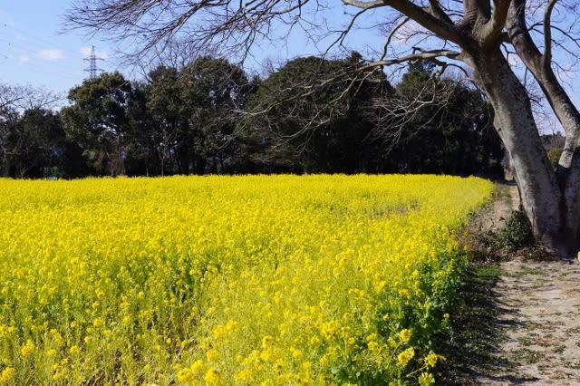 明和町斎宮の「菜の花畑」見てきました〜(^^)