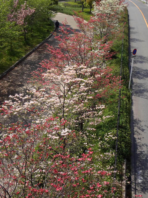 Flowering_dogwood_in_a_row