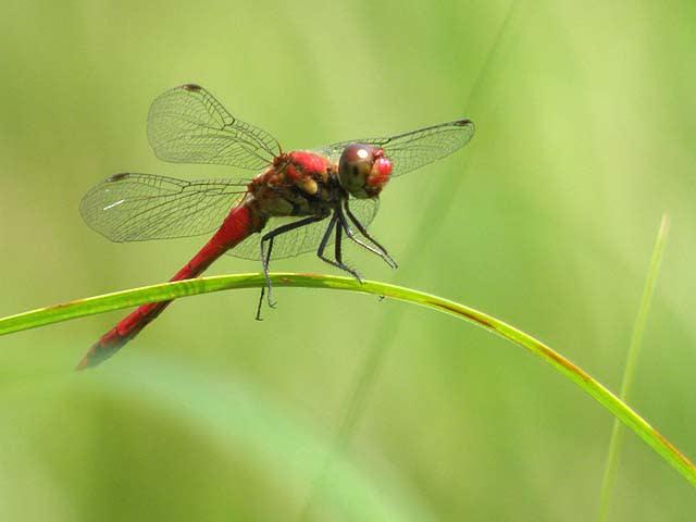 ぐんま昆虫の森 赤とんぼ ... : 簡単折り紙 : 折り紙