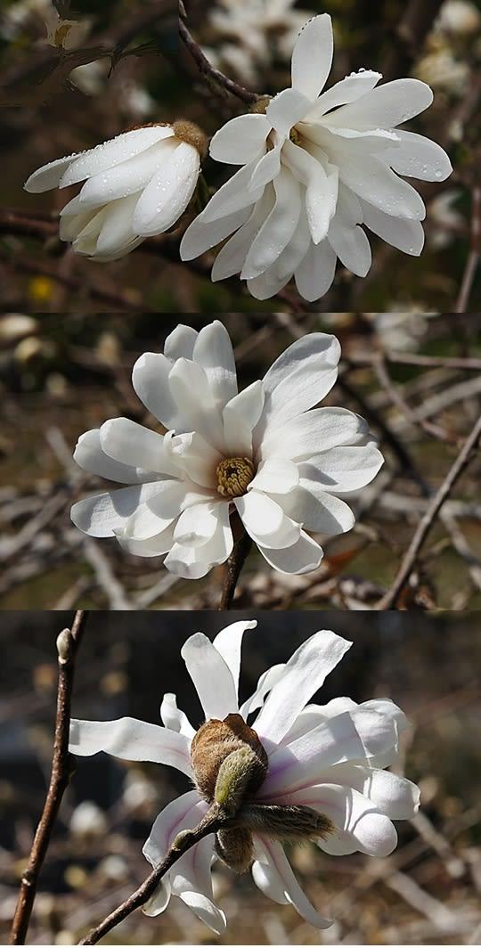 シデコブシの画像 p1_36