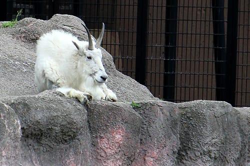 シロイワヤギの画像 p1_37