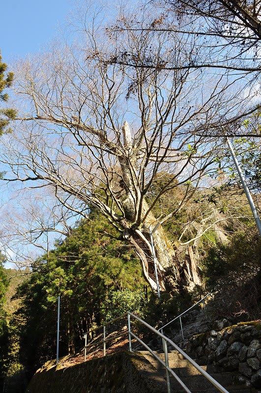 ケヤキの巨樹
