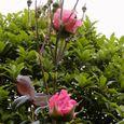 2006-5-27-5 思い出の初薔薇(名なし)
