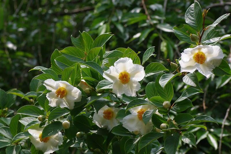 ナツツバキ (夏椿) の花 - めいすいの写真日記