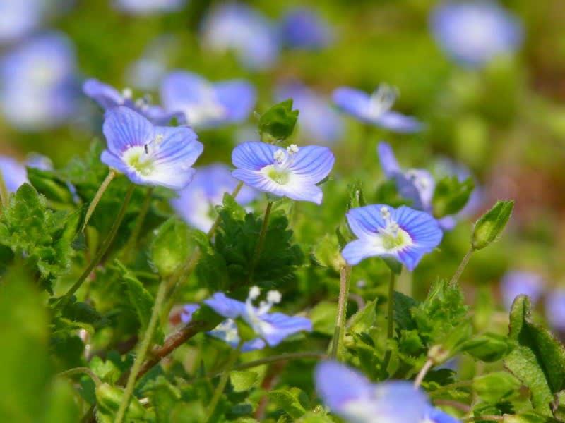 花 言葉 オオイヌノフグリ オオイヌノフグリの花言葉 花の意味と対応する誕生日・誕生花・あなたの性格