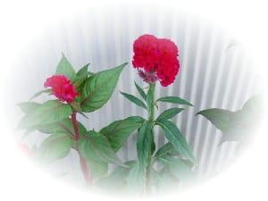 ケイトウの花が今が見頃ですクリックでアップの写真です