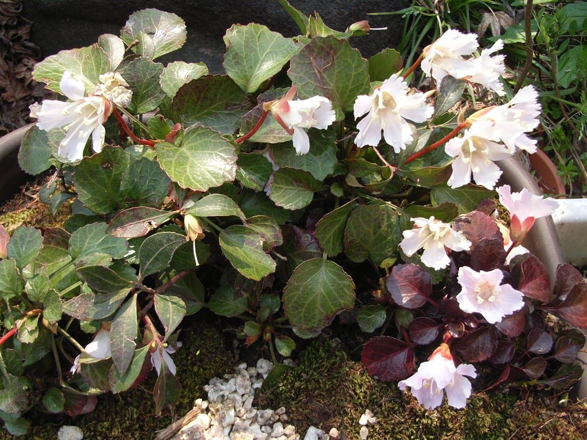 イワウチワ(岩団扇)イワウメ科。 実は・・・桜のような花色なので、イワザクラだと思っていた(笑)