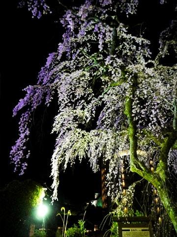 善福寺の夜桜ライトアップ