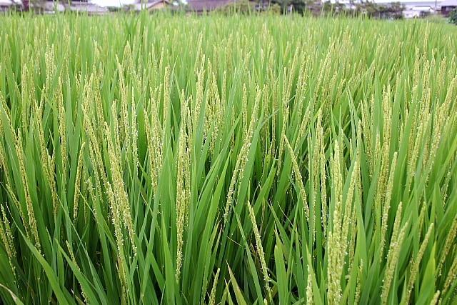 稲の出穂期が来ました - 旅と野...