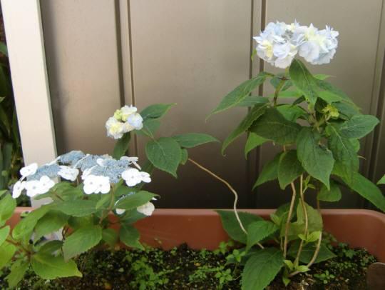 左が「姫甘茶」、右が「八重咲甘茶」である。可愛く咲いている。 ■姫甘茶...  あの町この街ある