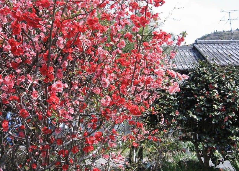 ボケ (植物)の画像 p1_31