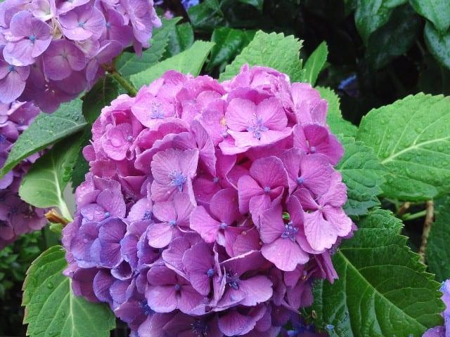 【雨に咲く紫陽花】