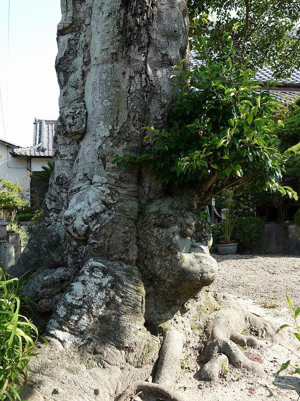 浄福寺のクロガネモチの幹