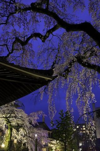 善福寺の枝垂れ桜