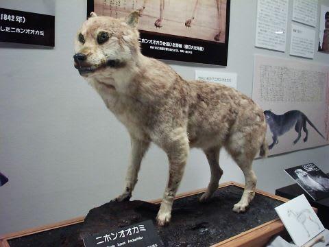 ニホンオオカミの画像 p1_21