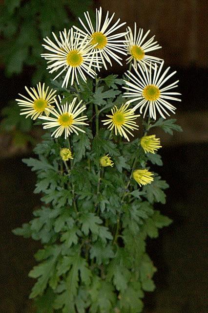 菊の画像 p1_5