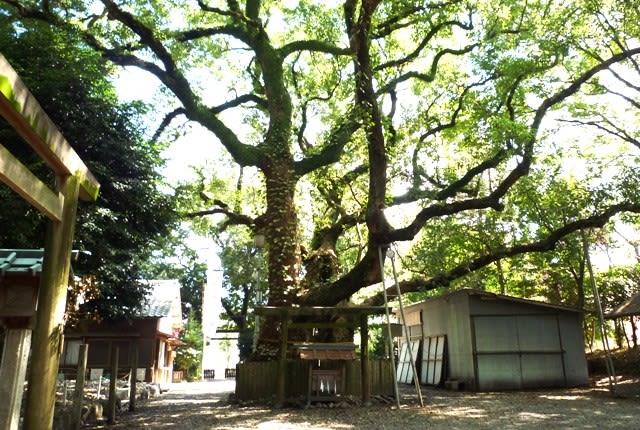 箕曲社(みのやしろ)境内の、樹齢800年と言う「楠の巨木」