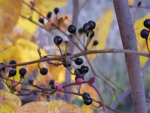 高ボッチ高原・鉢伏山で最近見る事の出来る実・種 ダンコウバイ(壇香梅)