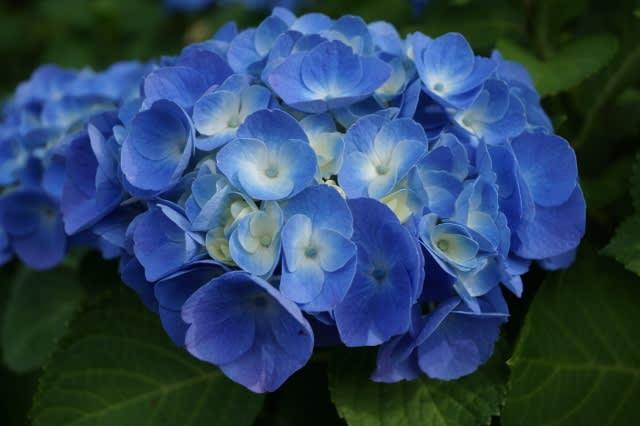 「二見しょうぶロマンの森」の紫陽花見てきました〜(^^)
