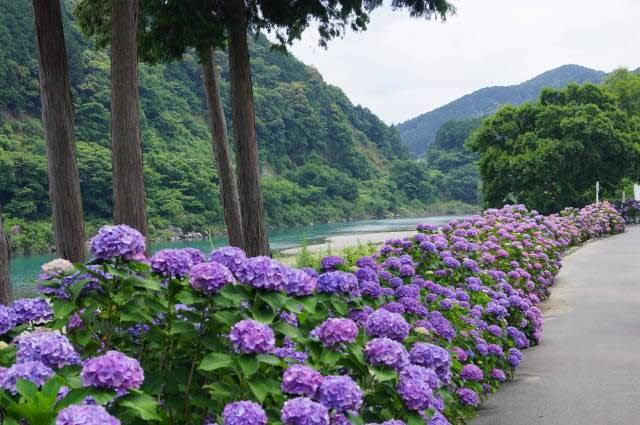 宮リバー度会パークの紫陽花見てきました〜(^^)