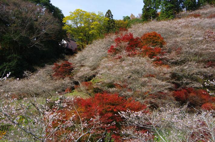 川見の四季桜と紅葉