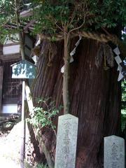 御神木の老杉