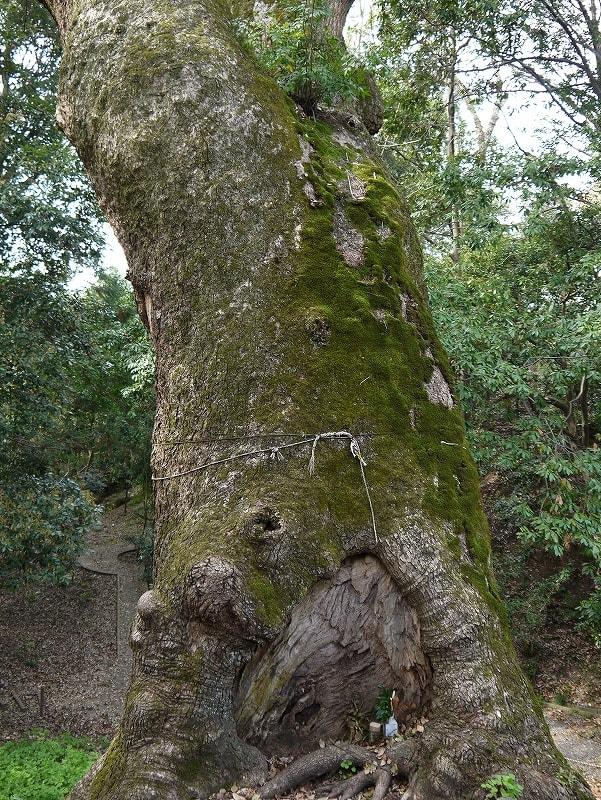 奈良豆比古神社の樟の巨樹