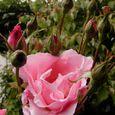 2006-5-28-2 思い出の初薔薇(名なし)
