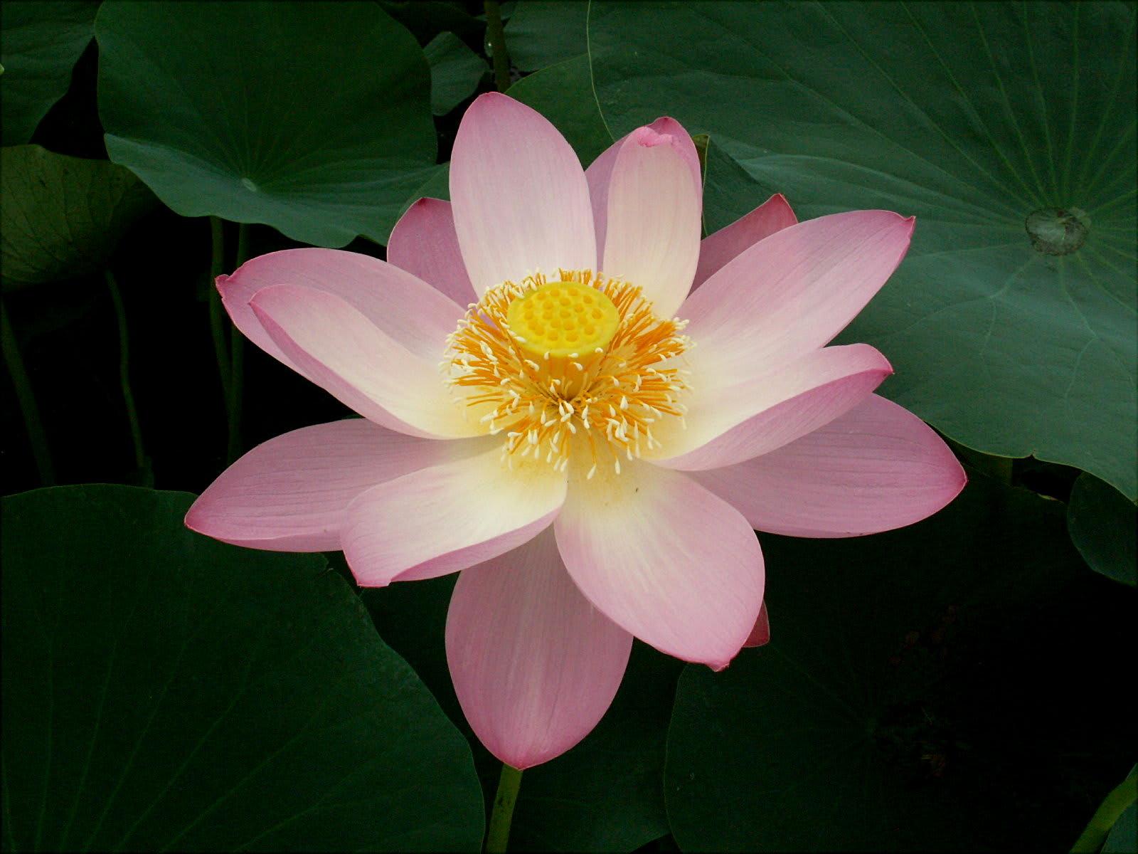 こちらは中国古代蓮とのこと。行田の古代蓮と色も形もよく似ていますね。一番... 中国古代蓮 古代
