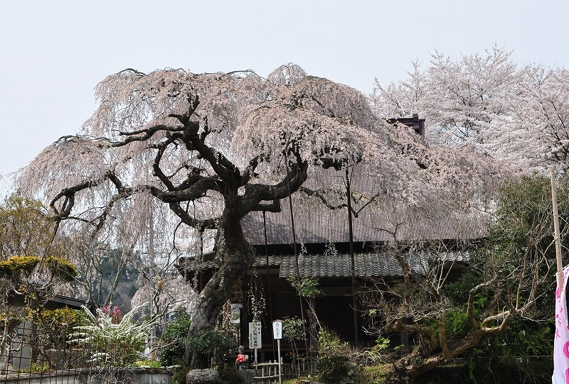 室生西光寺枝垂桜