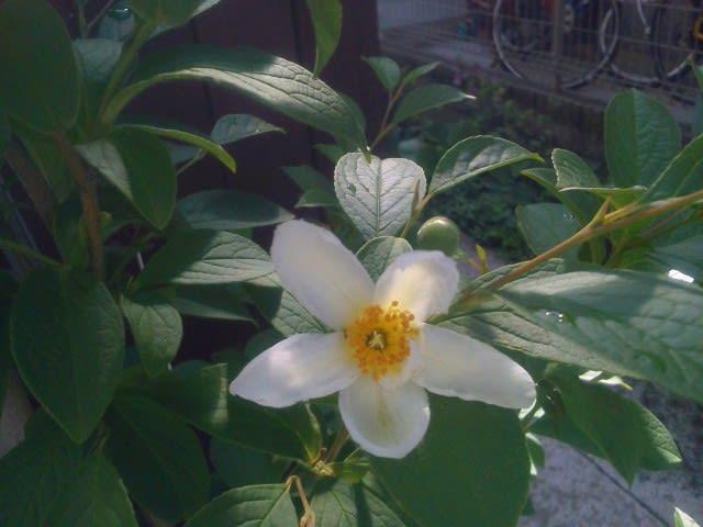 シャラの花、咲いた